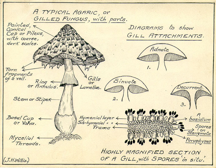 Draw And Label A Mushroom